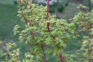 G Ruga Coral Maple Tree Photo